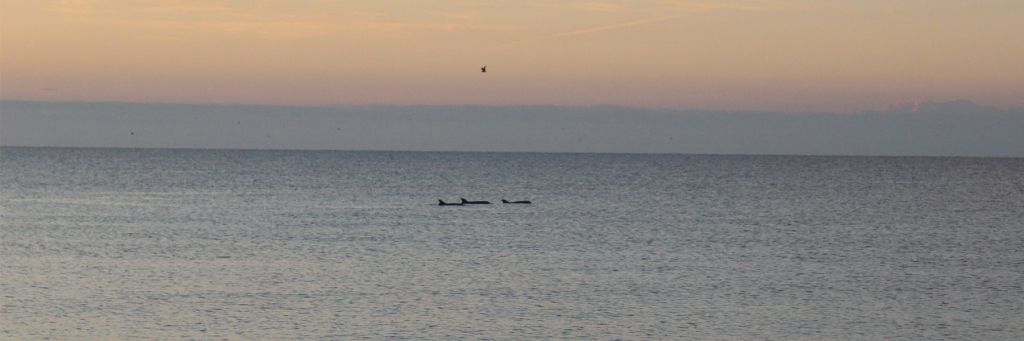 Morning Dolphins from the shore in Rocky Point Mexico (Puerto Penasco)
