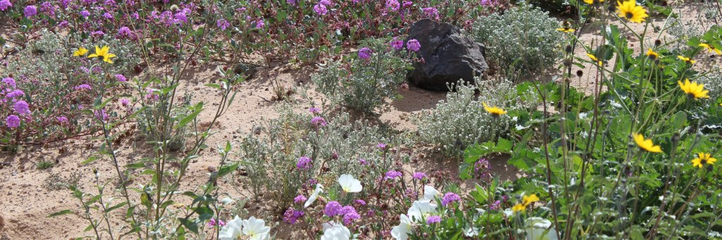 January 2019 Desert Blooming in Rocky Point Mexico (Puerto Penasco).